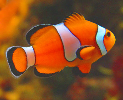 Phuket island leisure activities and things to do for What kind of fish is nemo